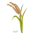 paddy ears with rice grain pile on white poster vector image
