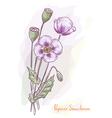 opium poppy vector image