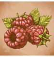 engraving raspberry retro vector image vector image