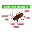 Diagram showing parts of cockroach vector image