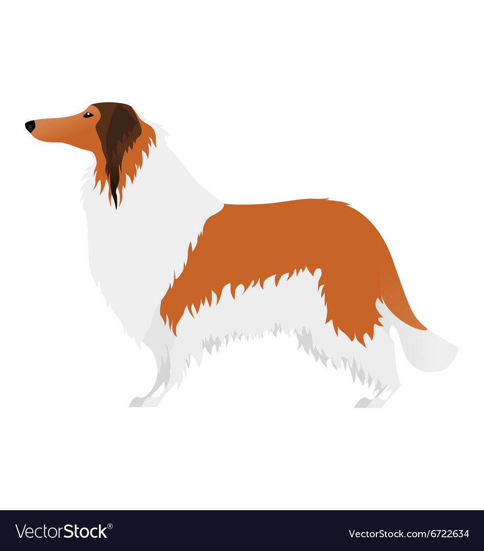 Isolated elegant large collie dog on white vector