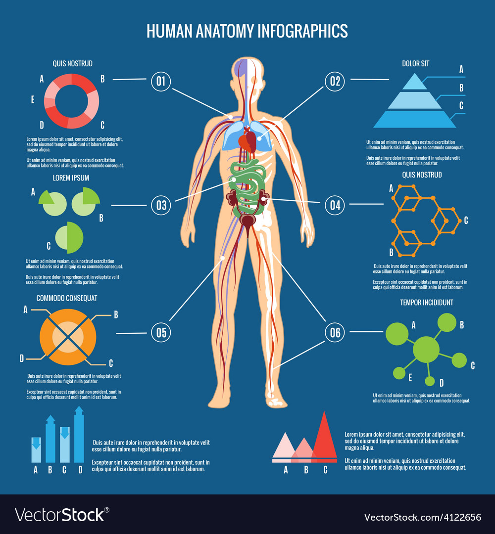 Human body anatomy infographic design vector