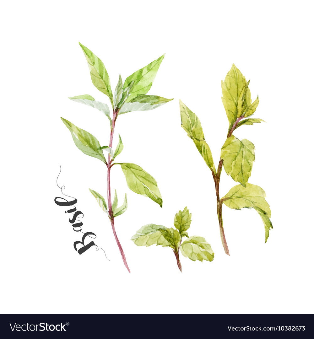 Watercolor hand drawn basil vector