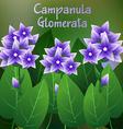Beautiful Flower of Campanula glomerata Flower or vector image