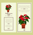 anthurium flower in pot banners vector image