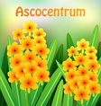 Orange Ascocentrum orchid flowers with green vector image