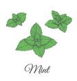 mint plant green set vector image