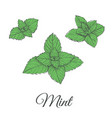 mint plant green set vector image