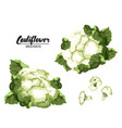 Cartoon cauliflower ripe green vegetable vector image