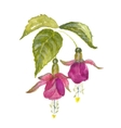 Branch of pink fuchsia vector image