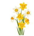 Bouquet of flowers narcissus on white background vector image