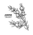 juniper drawing isolated vintage vector image
