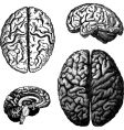 brain illustrations vector image