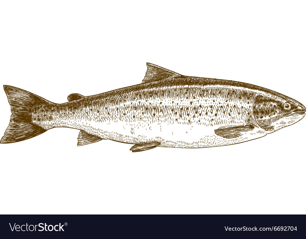 Engraving trout vector