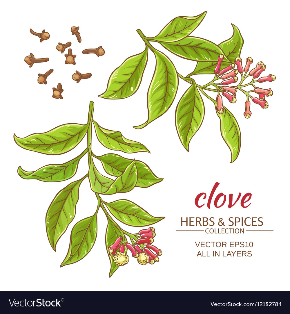 Clove set vector