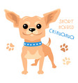 Funny shorthaired chihuahua dog sitting vector image
