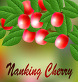 Red juicy sweet Nanking Cherry on a branch for vector image