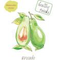 avocado watercolor vector image