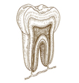 engraving tooth structure vector image