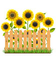 Wooden Fence with Sunflowers vector image