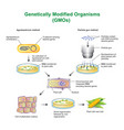 genetically modified organisms vector image