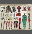 human anatomy vector image