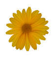 yellow daisy isolated on white background vector image vector image