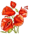 Bunch of Beautiful Red Poppy vector image