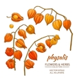 physalis set vector image