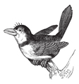 Puffbird vintage engraving vector image vector image