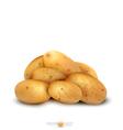Potato tubers vector image