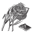 Harvest Mouse Nest Engraving vector image