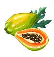 papaya isolated on white background vector image
