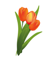 tulips vector image
