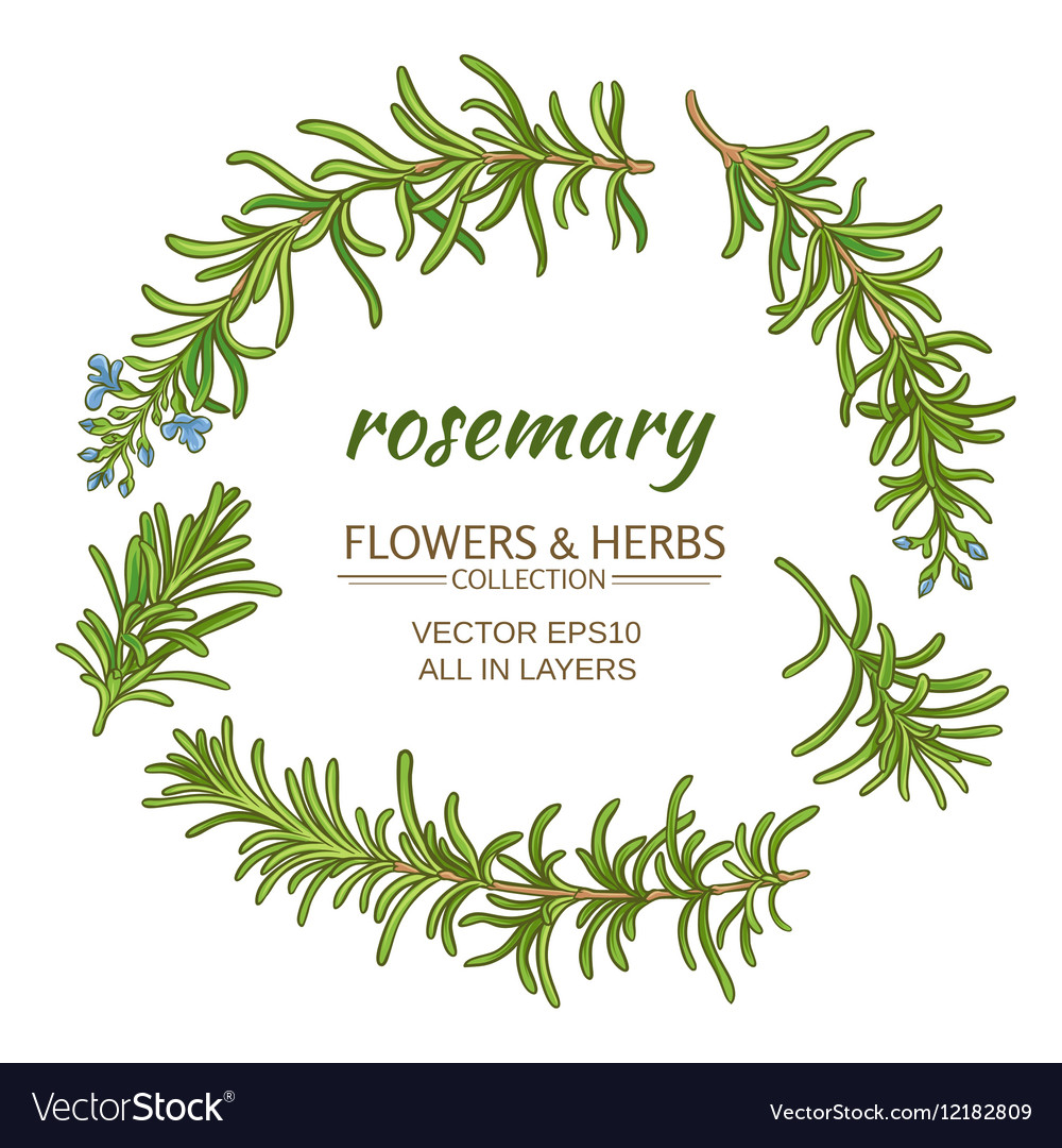 Rosemary set vector