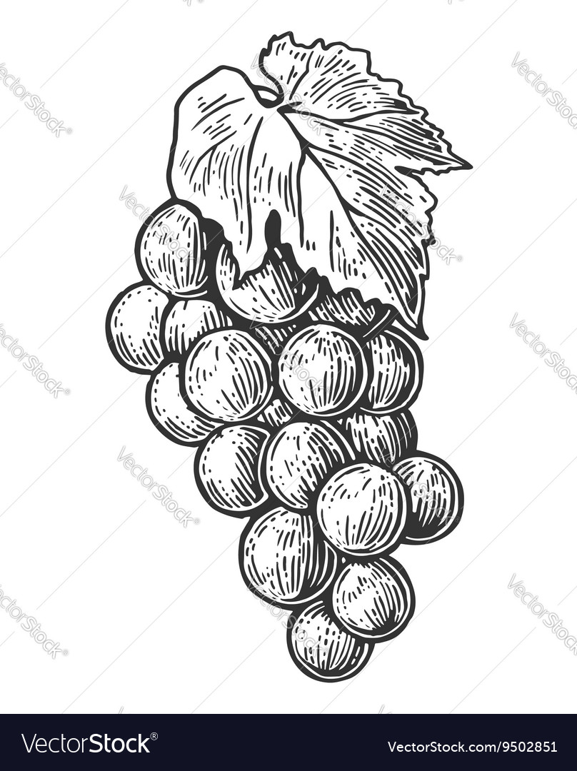 Bunch of grapes black and white vintage engraving vector