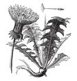 Dandelion vintage engraving vector image vector image