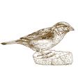 engraving sparrow vector image