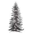 Norway Spruce vintage engraving vector image