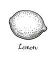 ink sketch of lemon vector image