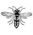 Old wasp engraving vector image