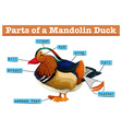 Different parts of Mandolin duck vector image