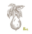 pears hand drawn sketch vector image