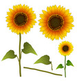 sunflower or helianthus isolated vector image
