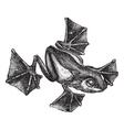 Rhacophorus vintage engraving vector image