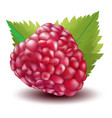 raspberry vector image