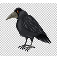 wild crow on transparent background vector image