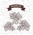 parsley herb and spice label engraving vector image