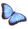 blue morpho butterfly vector image