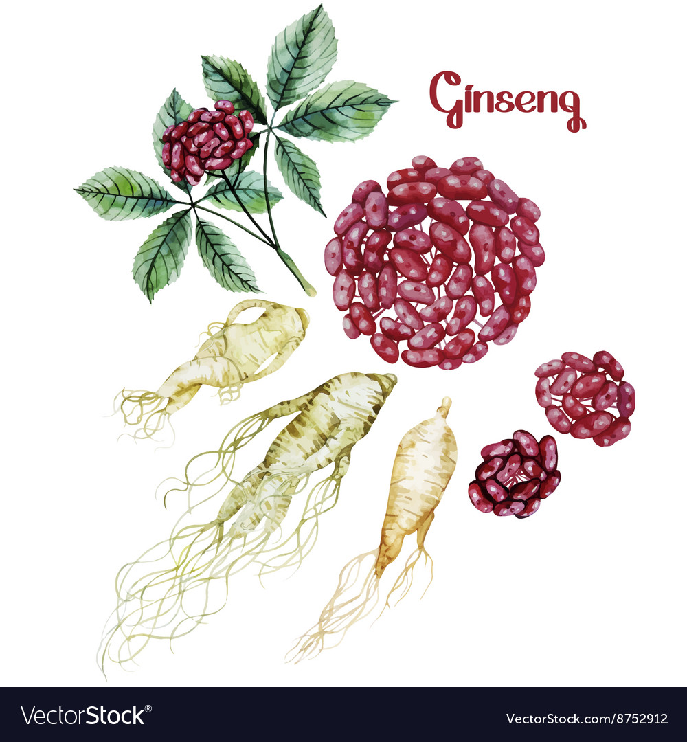 Watercolor ginseng root and berries vector